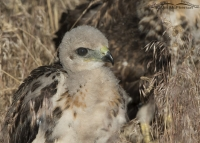 Red-tailed Hawk chick on the ground