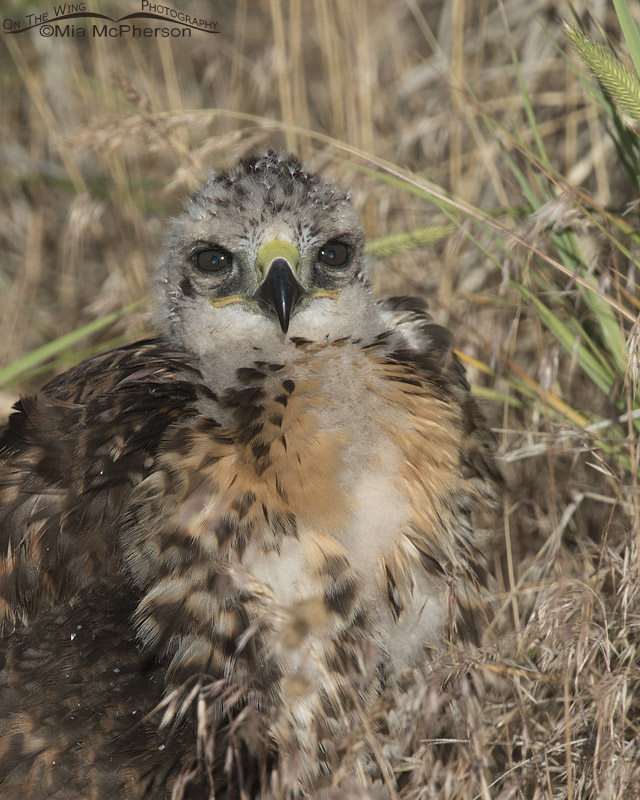 Fluffy Red-tailed Hawk chick