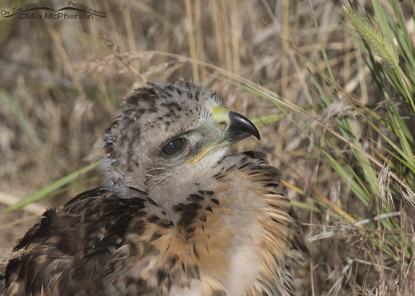Red-tailed Hawk chick close up
