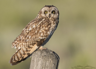 Short-eared Owl with an eye issue in morning light