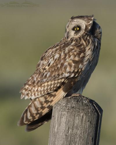 Wind blown Short-eared Owl