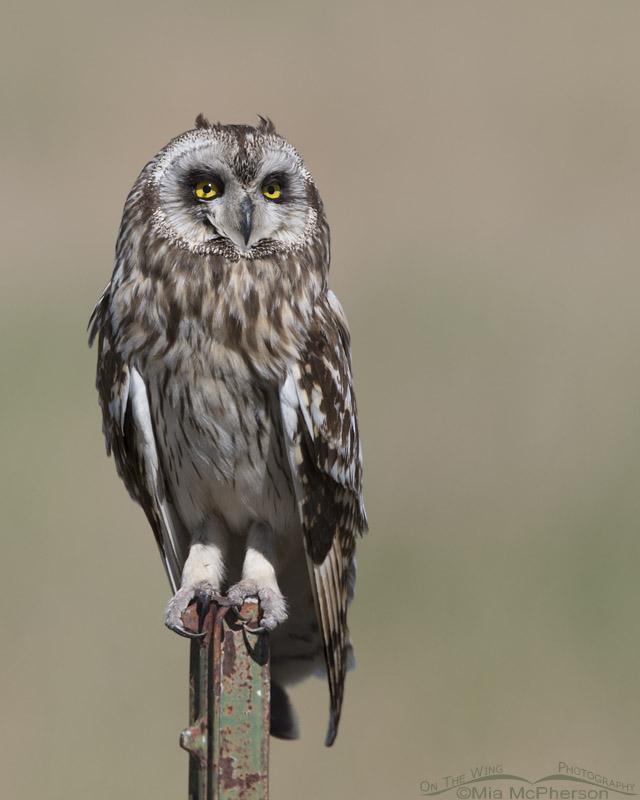 Short-eared Owl in bright mid morning light