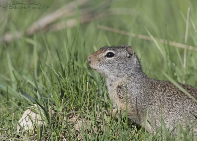 Uinta Ground Squirrel near East Canyon Creek