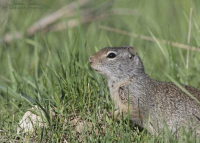 Uinta Ground Squirrel near East Canyon Creek
