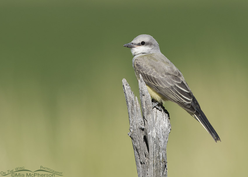 Juvenile Western Kingbird perched on an old fence post