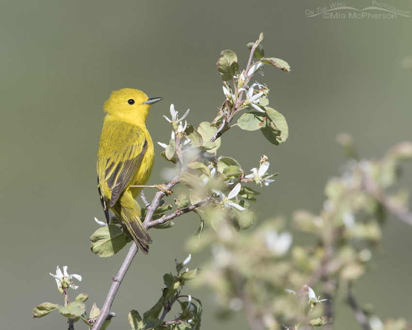 Yellow Warbler in the Wasatch Mountains