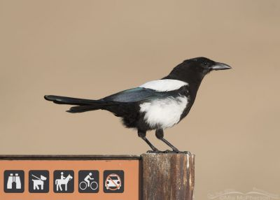 Black-billed Magpie juvenile perched on an informational sign