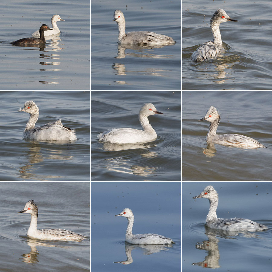 Leucistic Eared Grebes on the Great Salt Lake