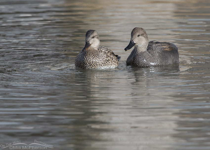 Mated pair of Gadwalls