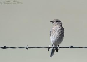 First of the Year Mountain Bluebird juvenile
