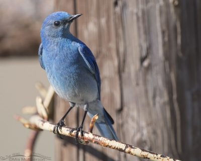 Male Mountain Bluebird on a ranch gate