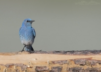 Male Mountain Bluebird on a rustic pine fence