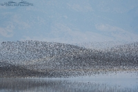 Thousands of Wilson's Phalaropes over the Great Salt Lake
