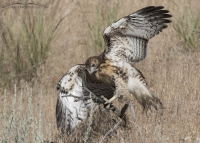Red-tailed Hawk fledgling getting its balance