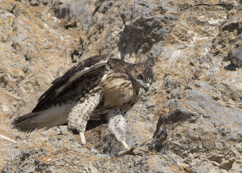 Red-tailed Hawk fledgling walking in a cliff