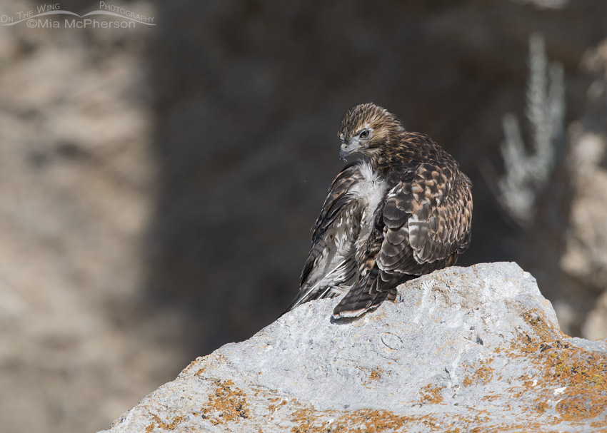Preening Red-tailed Hawk fledgling