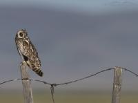 Centennial Valley Short-eared Owl