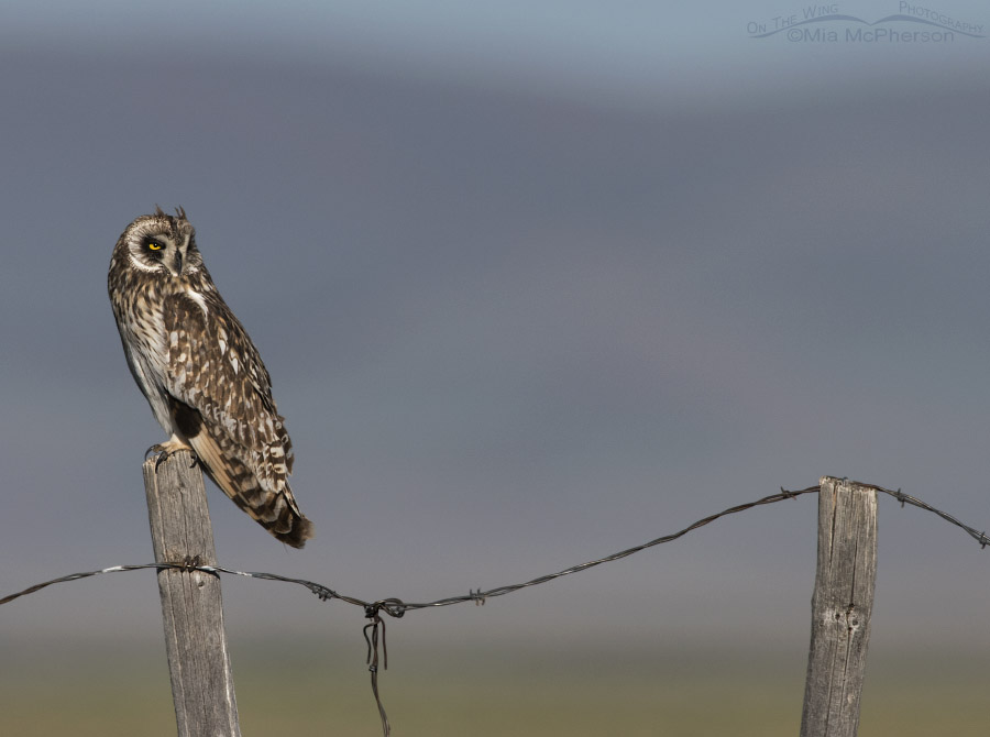 Centennial Valley Short-eared Owl