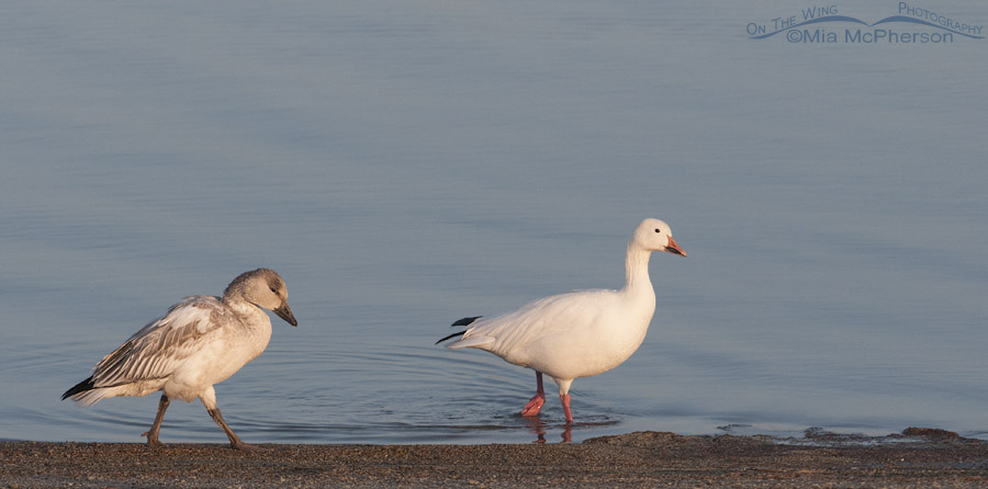 Juvenile and adult Snow Geese on the shoreline of the Great Salt Lake