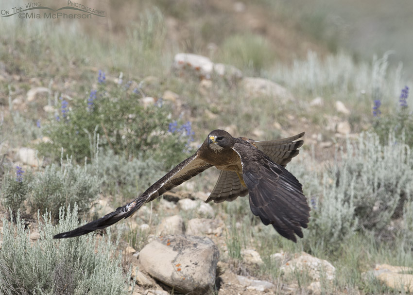Swainson's Hawk with feather damage to underwing coverts in flight