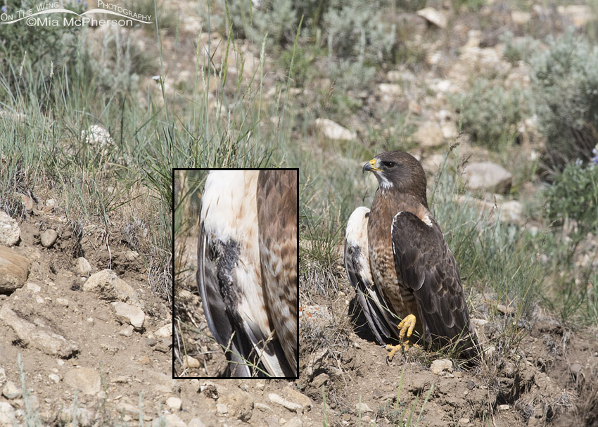 Swainson's Hawk with feather damage to the underwing coverts