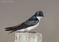 Close up Tree Swallow perched on a fence post
