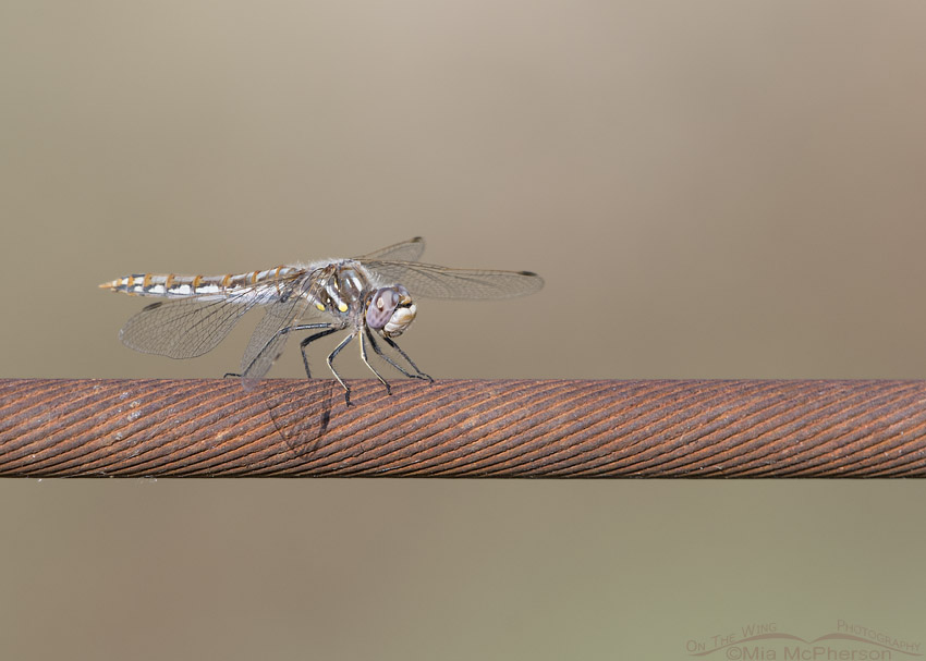 Variegated Meadowhawk on a rusty wire