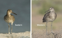 Eastern and Western Willets