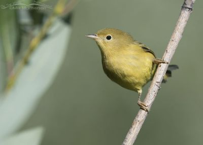 Perched female Yellow Warbler