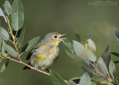 Juvenile Yellow Warbler begging