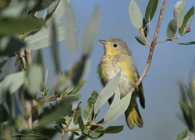 Juvenile Yellow Warbler perched in a tree