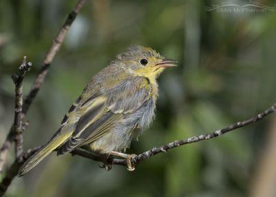 Bedraggled juvenile Yellow Warbler