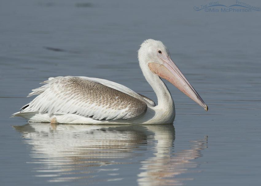 Juvenile American White Pelican