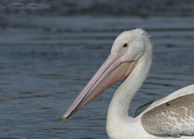 Juvenile American White Pelican close up with a horse fly