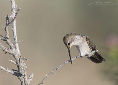 Immature Black-chinned Hummingbird cleaning its bill