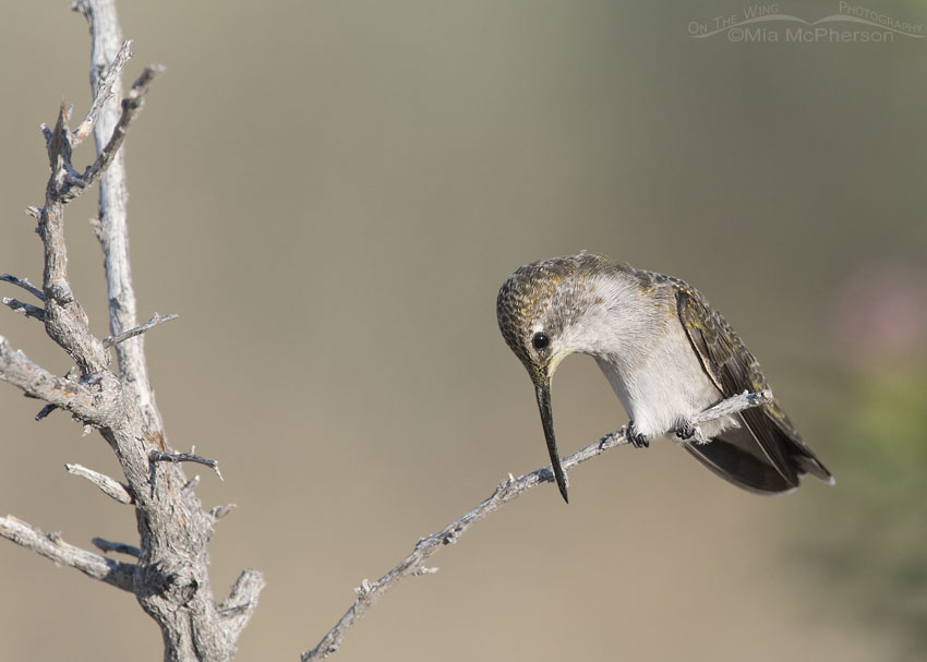 Immature Black-chinned Hummingbird cleaning its bill