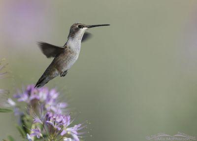 Black-chinned Hummingbird on Antelope Island