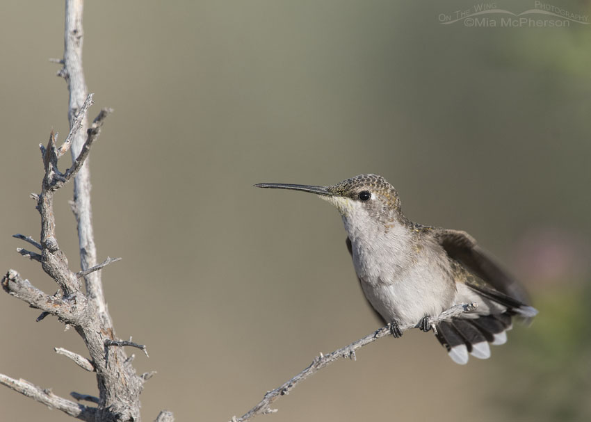 Black-chinned Hummingbird stretching while perched