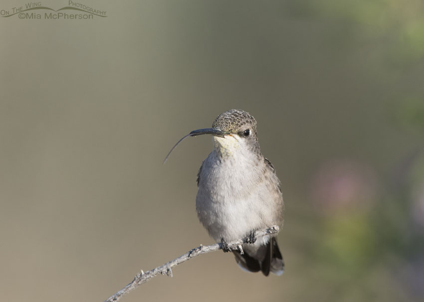 Black-chinned Hummingbird tongue