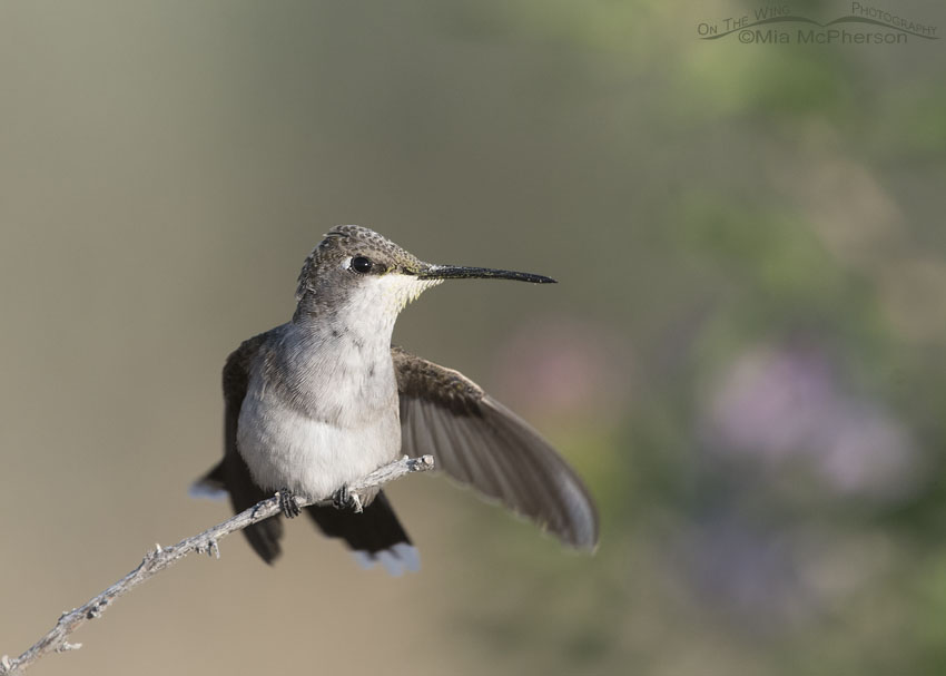 Immature Black-chinned Hummingbird close up