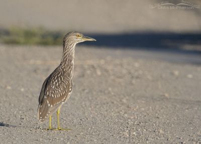 Juvenile Black-crowned Night Heron on the auto tour loop