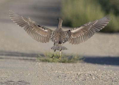Leaping juvenile Black-crowned Night Heron