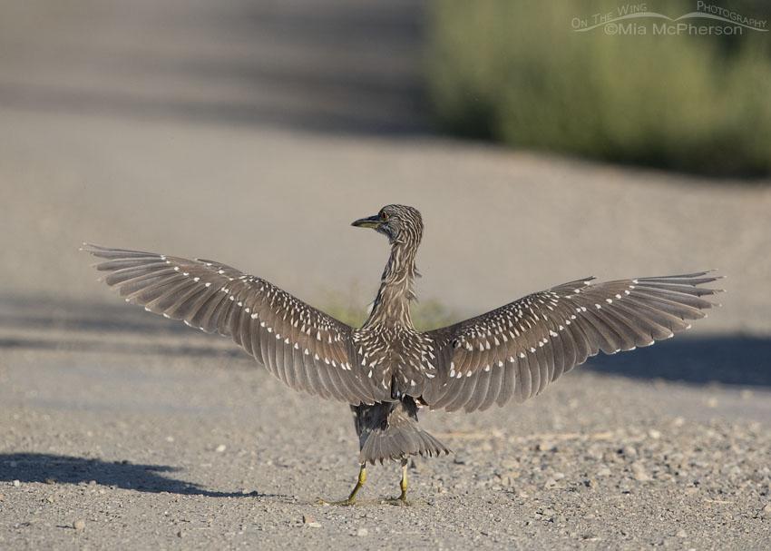 Sassy looking juvenile Black-crowned Night Heron