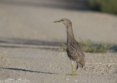 Black-crowned Night Heron juvenile on the road
