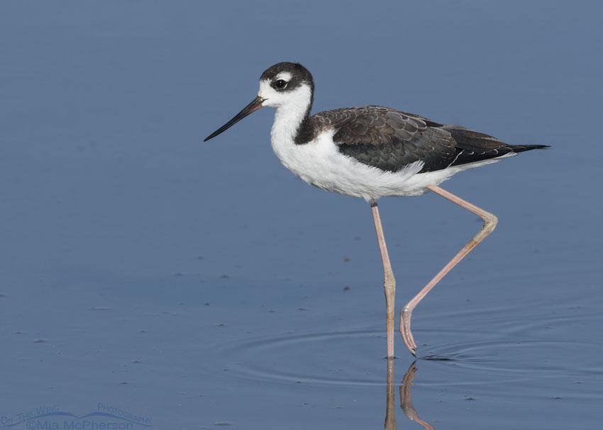 Juvenile Black-necked Stilt walking through shallow water