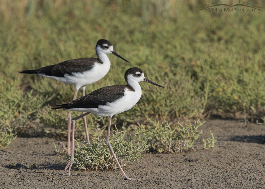 Juvenile Black-necked Stilts in the marsh at Bear River MBR