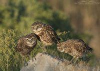 Juvenile Burrowing Owls interacting