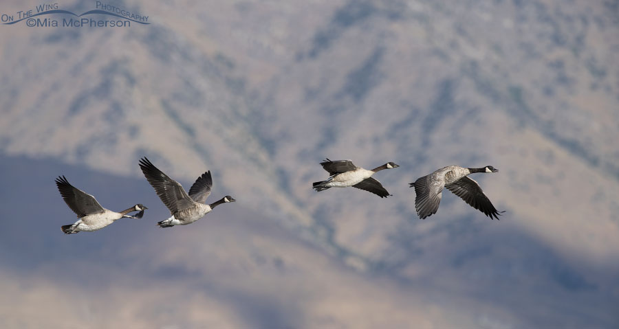Canada Geese flying in front of the Promontory Mountains