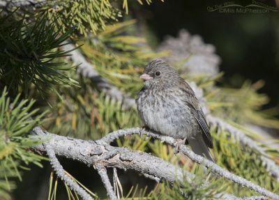 Dark-eyed Junco juvenile perched in a conifer