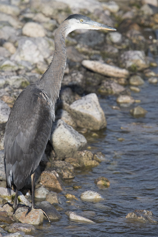 Immature Great Blue Heron at the Great Salt Lake
